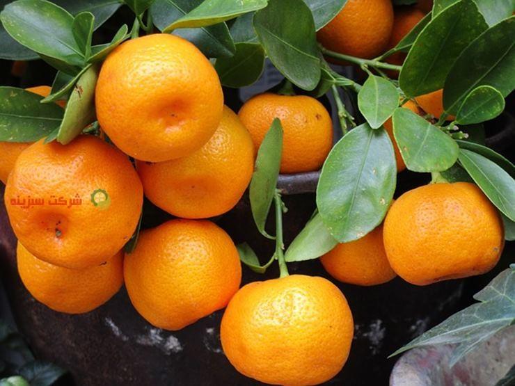 نارنگی ژاپنی