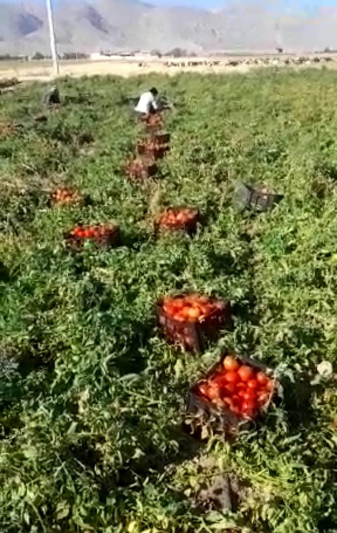 انواع گوجه فرنگی