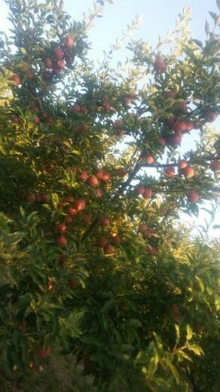 سیب قرمز صادراتی