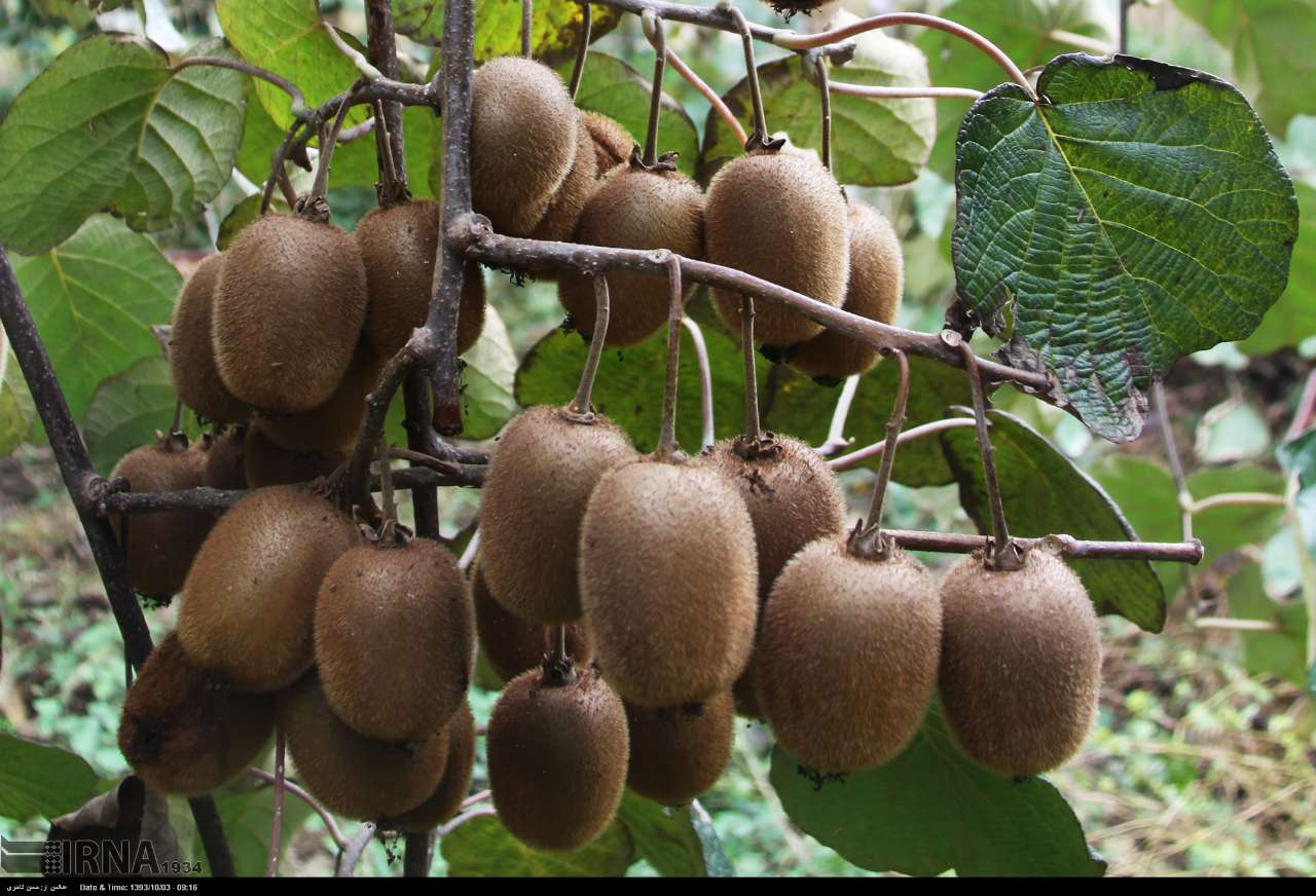 فروش میوه سر درختی کیوی