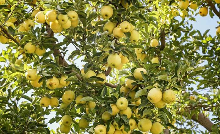 سیب زعفرانی